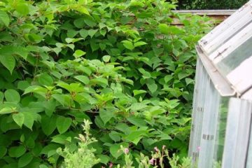 Japanese knotweed - more than a mere weed